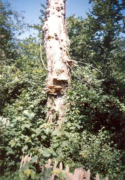 Diseased Tree, art by David Russell