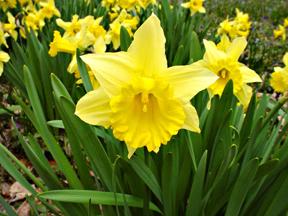 Daffodils, art from John Yotko