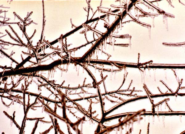 Ice in Tree image 2 Copyright 1988-2017 Janet Kuypers