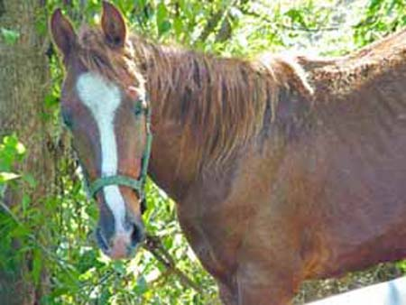 Horse photographed in Puerto Rico, copyright 2003-2017 Janet Kuypers