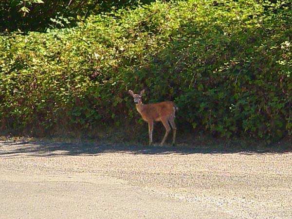 deer at Puget Sound, copyright 2006-2018 Janet Kuypers